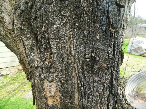 maple tree bark behind the house in PA