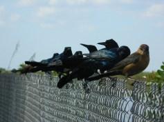 Birds on a fence