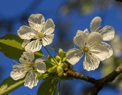 cherry-blossom-3340471_640