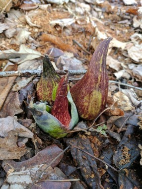 skunk cabbage pixabay