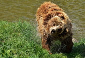 european-brown-bear-3337404_640