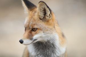 fox-2825118_640 (1)