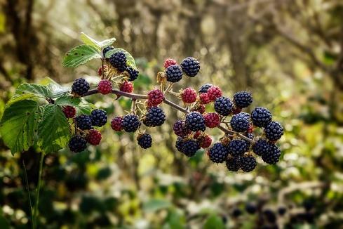 blackberry plant