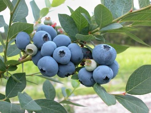 blueberries-1813420_640