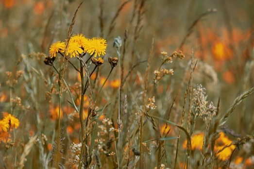 wild-flower-meadow-3386078_640