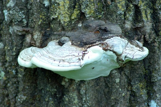shelf-fungus-on-tree-3539756_640