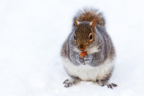 squirrel pixabay