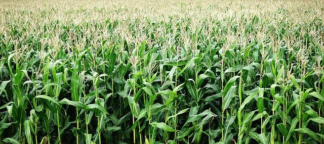 corn-2655525_640