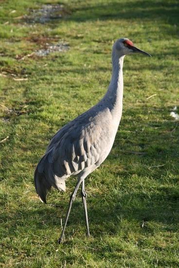 lesser-sandhill-crane-930223_640