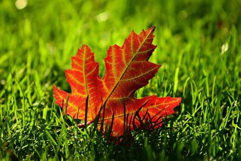 maple-leaf-3680684_640