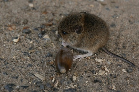 mouse chewing acorn