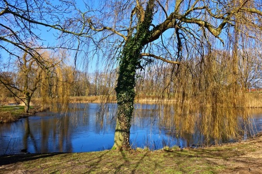 weeping-willow-3174533_640