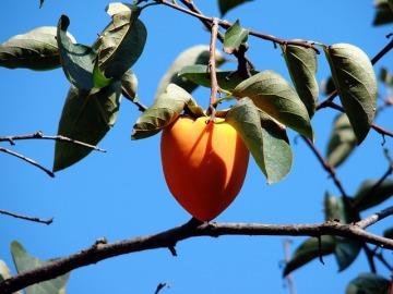 persimmon cute