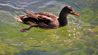 duck-3604809_640