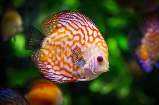 discus-fish-1943755_640
