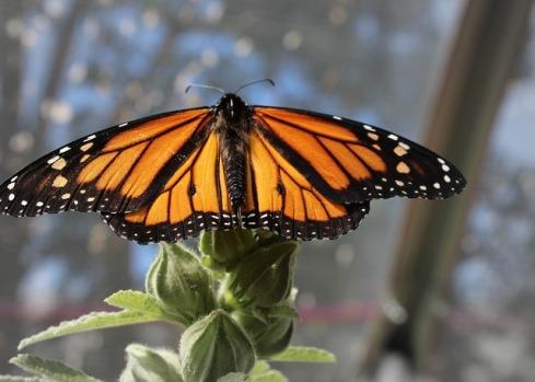 monarch-3882999_640
